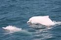 再見, Popper!一隻中華白海豚之死