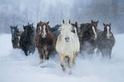冬季,奔跑的馬兒
