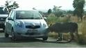 大貓的好奇心殺死了車輪胎