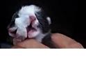中國驚現雙面小貓《國家地理》雜誌