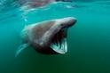 澳洲捕獲罕見的巨大象鮫