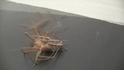 蜘蛛的五十道陰影