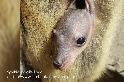 罕見畫面:看袋鼠寶寶在育幼袋內成長!