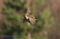 黃鼠狼騎啄木鳥照瘋傳──照片是真的嗎?