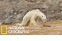 令人鼻酸的「皮包骨」北極熊 (更新版)