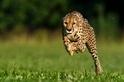 地表最快的獵豹逝世——一同欣賞牠奔馳的美