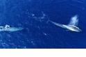 罕見畫面:來追我啊! 藍鯨上演調情戲碼