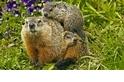 【動物好朋友】美洲旱獺 (Groundhog)