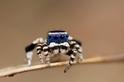 「藍臉」舞王:孔雀蜘蛛的求偶花招