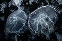 迷人的水母
