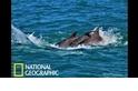 為了鞏固兄弟情,雄性海豚們會彼此「牽手」