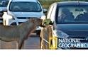 「一窗之隔!」好奇獅子一口咬住遊客汽車門把