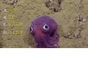 發現海底紫色大眼萌「章魚哥」 科學家直呼可愛