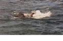 亞洲象的奇幻漂流––看斯里蘭卡海軍拯救漂浮於外海的大象