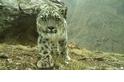 拯救雪豹的重要任務