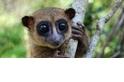 新發現!萌死人不償命的大眼狐猴