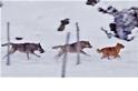 差別待遇?!為什摩這群狼放過馬匹卻追著小狗不放?