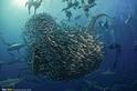 沙丁魚狂潮