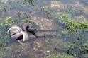 巨蟒大戰鱷魚