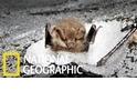 罕見畫面:藏在「雪洞」中冬眠的蝙蝠