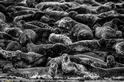 法爾內海豹