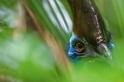 澳洲:食火雞