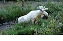 罕見影片:如夢似幻的雪白駝鹿