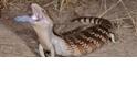 蜥蜴怎麼會有能反射紫外光的藍舌頭?