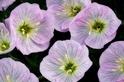 花能聽到蜜蜂嗡嗡嗡──這讓花蜜更香甜