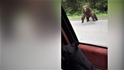 快開車!忽有龐然大熊 拔山倒樹而來!