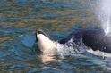 虎鯨寶寶夭折,媽媽伴屍17天不離不棄
