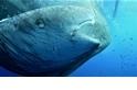 受困鯨鯊大救援