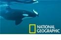虎鯨把海龜當陀螺?其實這可能為了教育下一代!