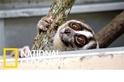 這20隻懶猴曾是珍奇寵物,如今得以重返自然