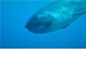 罕見影片:印尼外海撞見巨口鯊活體