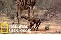長頸鹿寶寶的第一步
