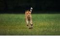 花豹、獵豹、美洲豹、雲豹……已眼花