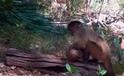 敲堅果的猴子與人類的演化