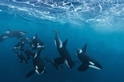 虎鯨的盛宴