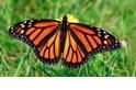 【動物好朋友】帝王斑蝶(Monarch butterfly)