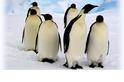 【動物好朋友】皇帝企鵝(Emperor Penguin)