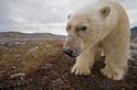 北極熊因應氣候變遷的四種方法