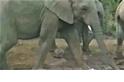 有驚無險!象群過境 陸龜險被踩成薄餅!
