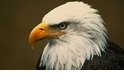【動物好朋友】白頭海鵰(Bald Eagle)