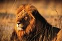 稱職導遊喪命獅口