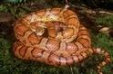為何有些蛇的腹部有圖案?