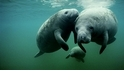 【動物好朋友】西印度海牛(West Indian Manatee)