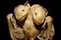 在巴西發現蝙蝠連體嬰