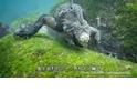 你見過加拉巴哥群島的「哥吉拉」嗎?