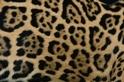 你能看出美洲豹與花豹的不同之處嗎?